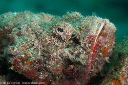 BD-161030-Pantar-4001-Scorpaenopsis-diabolus-(Cuvier.-1829)-[False-stonefish].jpg